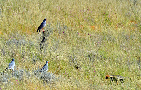 Honey badger with 3 pale chanting goshawks