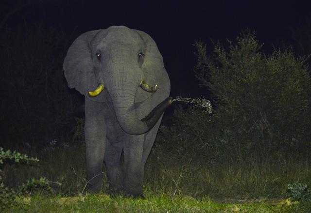 elephant drinking at Hoyo Hoyo