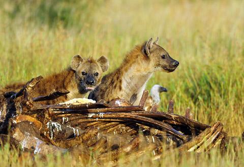 Hyenas at elephant carcass