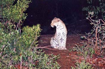 Leopard at Inyati, Sabie Sands game reserve
