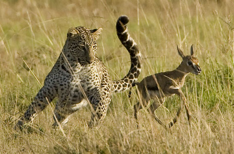 leopard chasing thompsons gazelle fawn