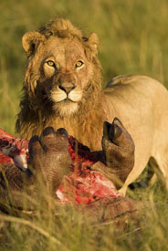 Lion with hippo kill