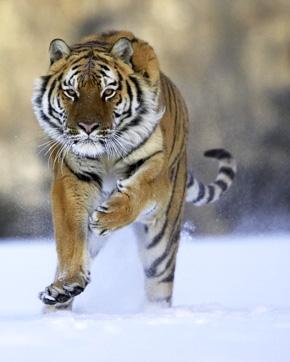 Siberian Tiger runing