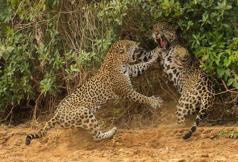 male and female jaguars