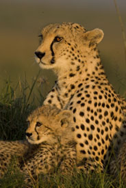 cheetah with cub - maasai mara