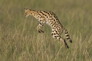 serval in the Maasai Mara