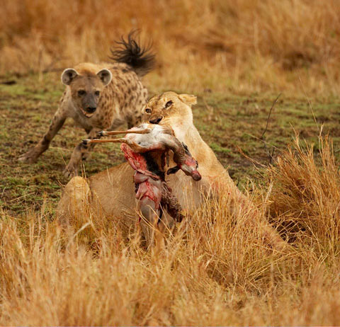 Lion with kill being chased by hyena