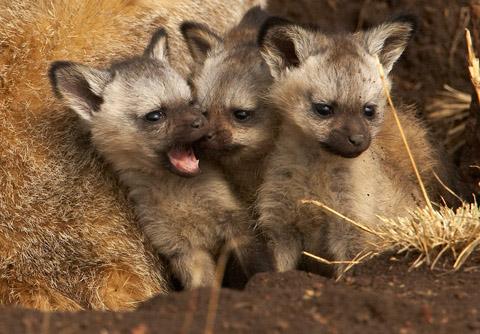 Bateared fox pups