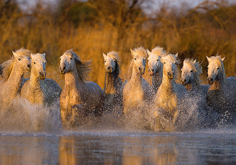 horses of the camargue in France
