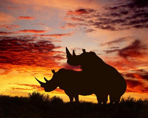 Mating Rhinos silhouette