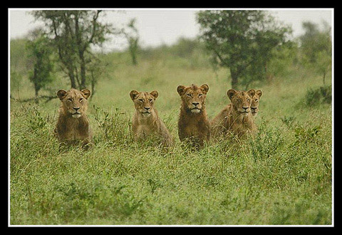 Five lions looking