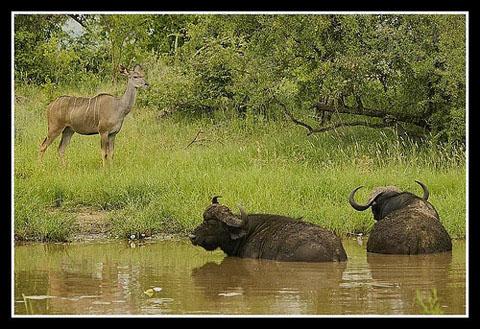 Buffalo wallowing