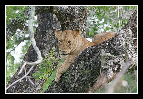 Lion in tree Kruger Park