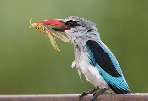 Woodland Kingfisher with prey
