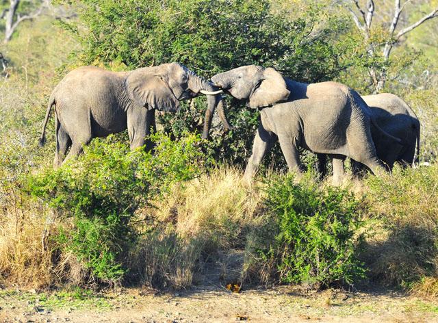 Elephant fighting