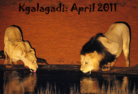 Kalahari lions drinking at waterhole