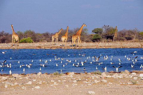 klein namutoni giraffe and seagulls