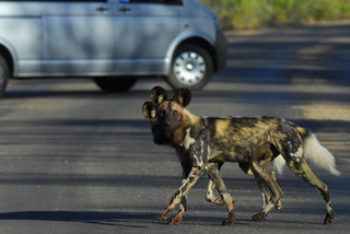 Wild Dogs near Punda Maria, Kruger National Park