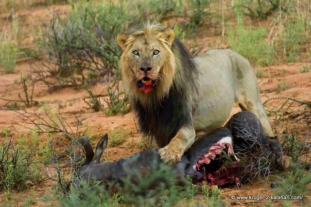 What do white lions eat - photo#23