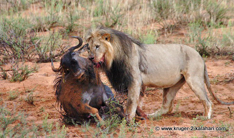 Kalahari Lion with wildebeest kill