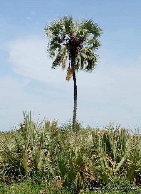 Lala palm tree in Kruger National Park