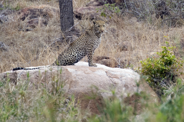 injured Leopard on rock in Kruger Park