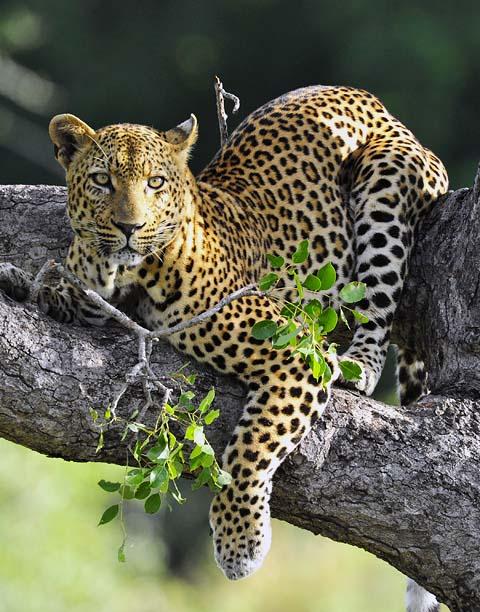 Leopard on Phabeni road