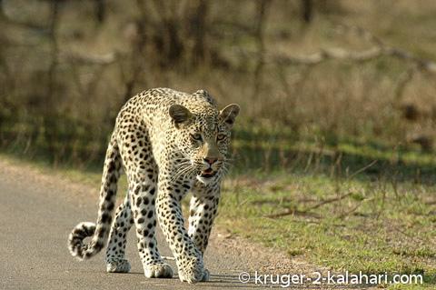 leopard sidelit