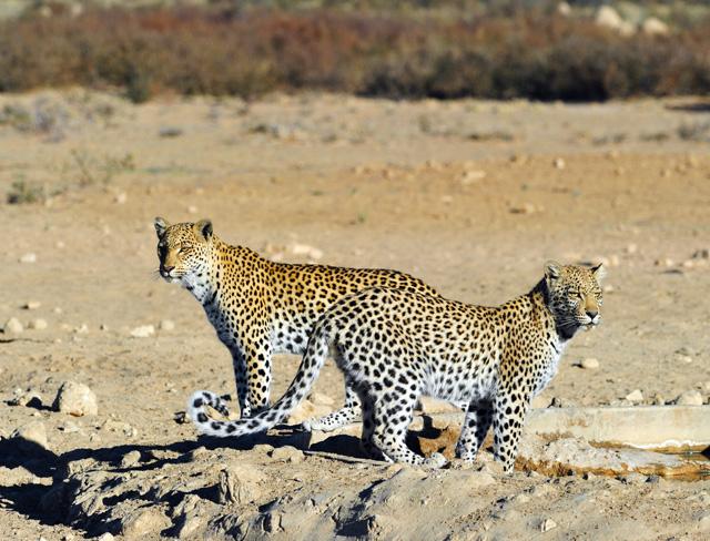 Safran and her cub Tebogo