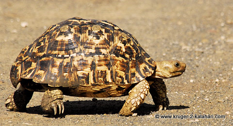 Leopard tortoise in Kruger Park