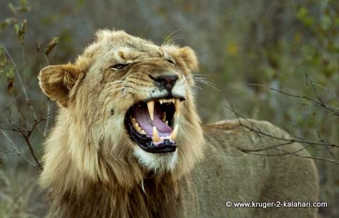 Male lion showing teeth