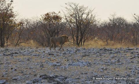 Lion etosha trip report