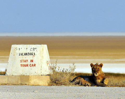 lion at salvadora waterhole