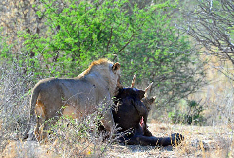 lion with elephant kill