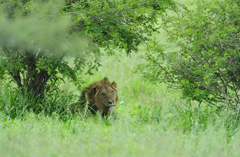 Male lion in grass under tree