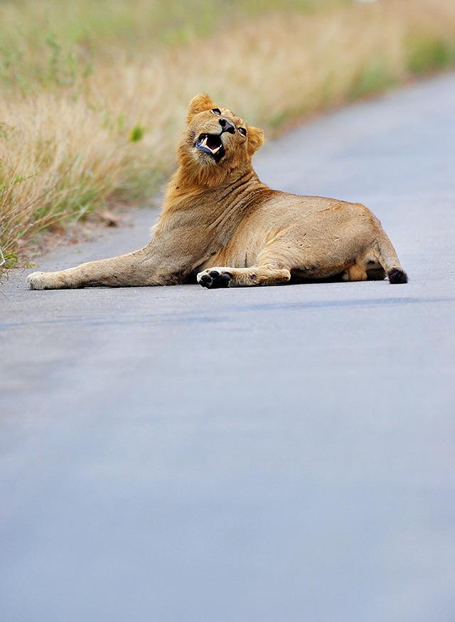adolescent male lion in road