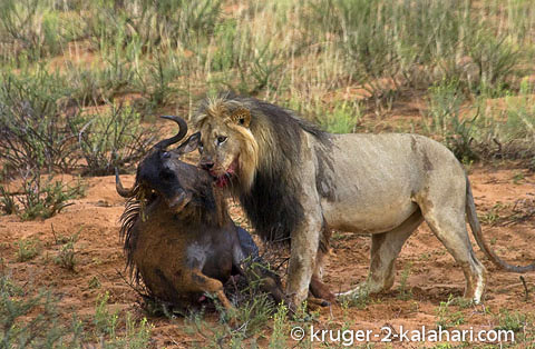 lion with wildebeest kill overcat day