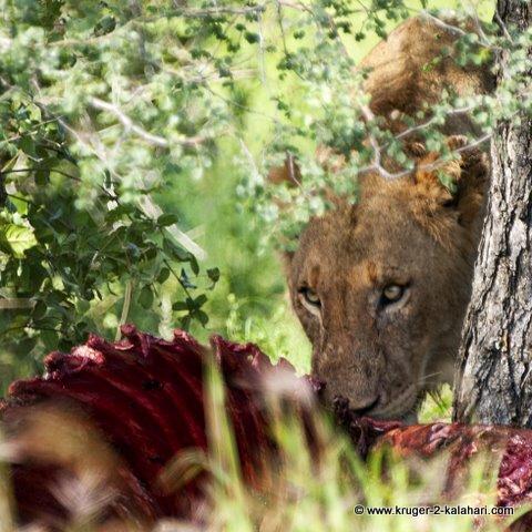 Lion with zebra kill