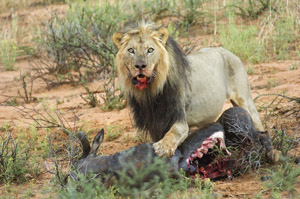 black-maned kalahari lion with wildebeest kill