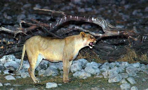 lioness at Okaukuejo waterhole