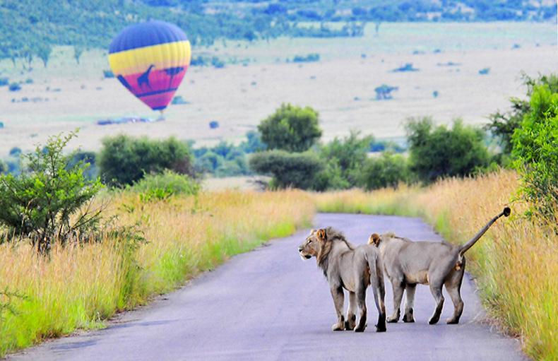 Lions on patrol with hot air balloon, Pilanesberg