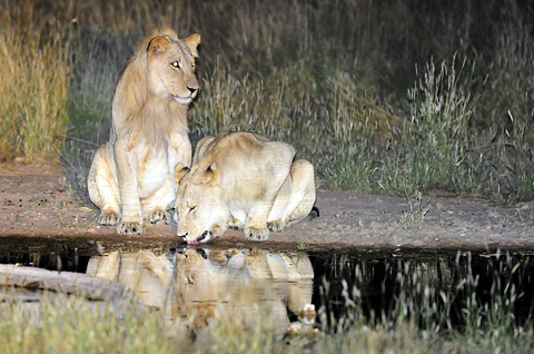 lions drinking at Urikaruus