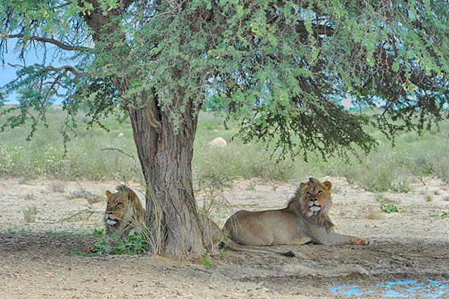 Kgalagadi lions - 'balanced' effect