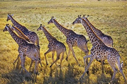 giraffe - aerial photograph