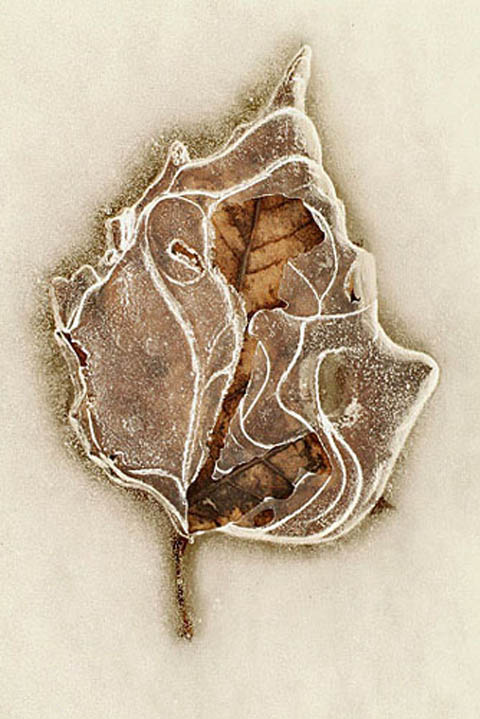 Sycamore leaf in ice