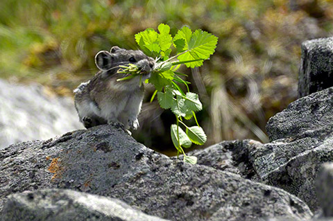 [Image: MP-Collared-Pika-0183.jpg]