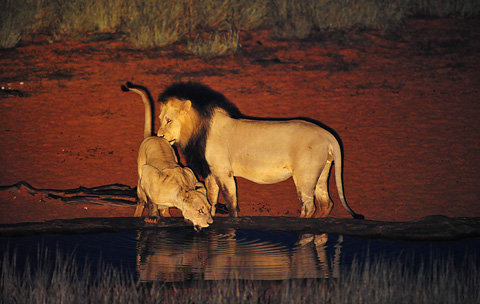 male and female lions at Gharagab waterhole