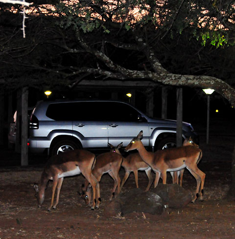 Impala walking around Manyane camp at night