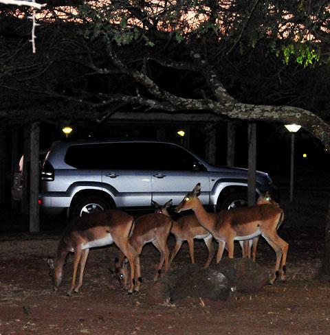 Impala walking around Manyane camp at night