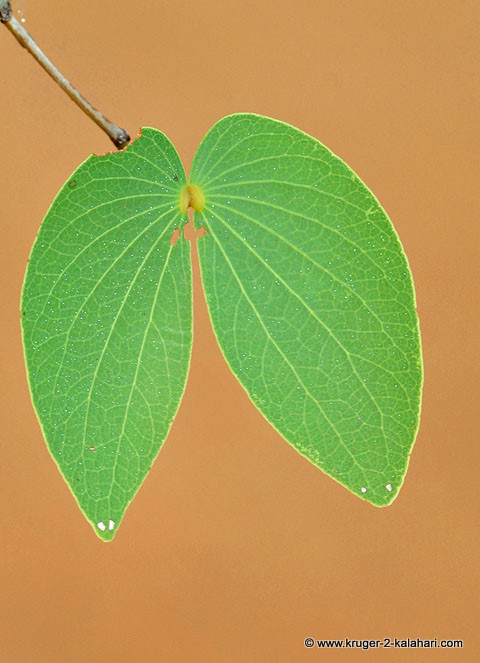 Mopani tree butterfly leaf